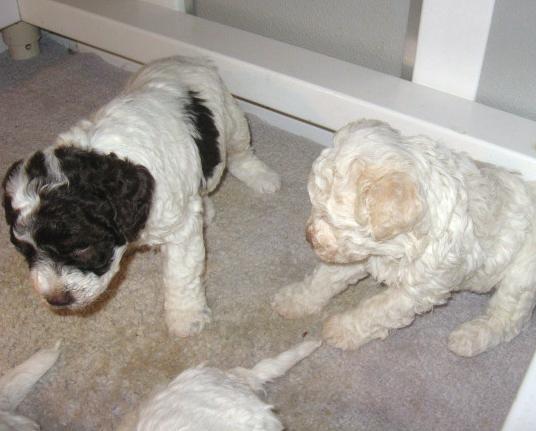 Amos-Donna_Puppies 007-1