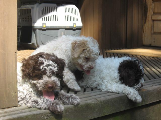 Amos-Donna_Puppies 018