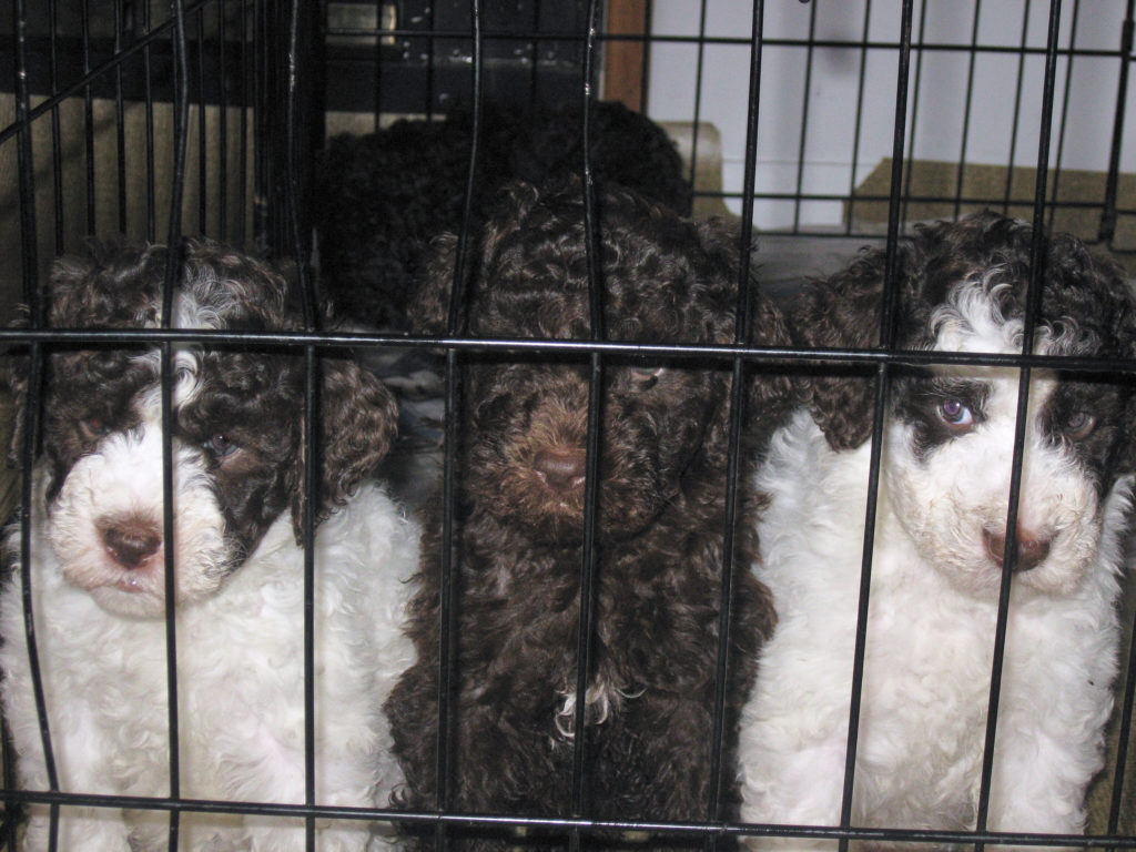Puppies-Lagotto_014_14