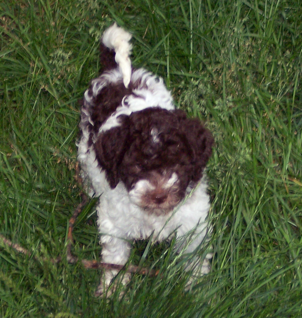 Puppies-Lagotto_100_0650