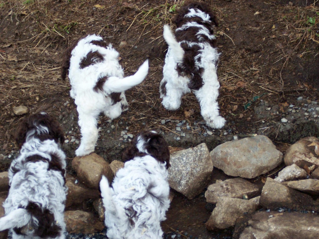 Puppies-Lagotto_100_0735