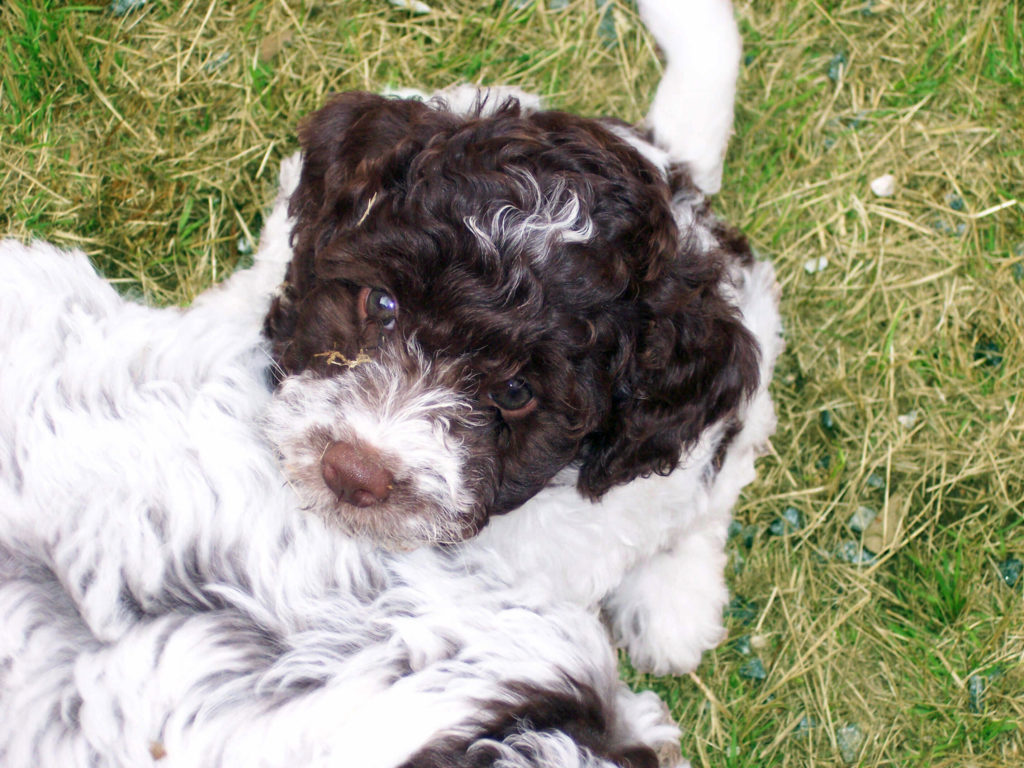 Puppies-Lagotto_100_0754-1