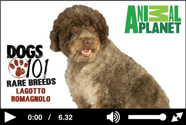 Watch the Lagotto Romagnolo on Animal Planet's Rare Breeds Segment